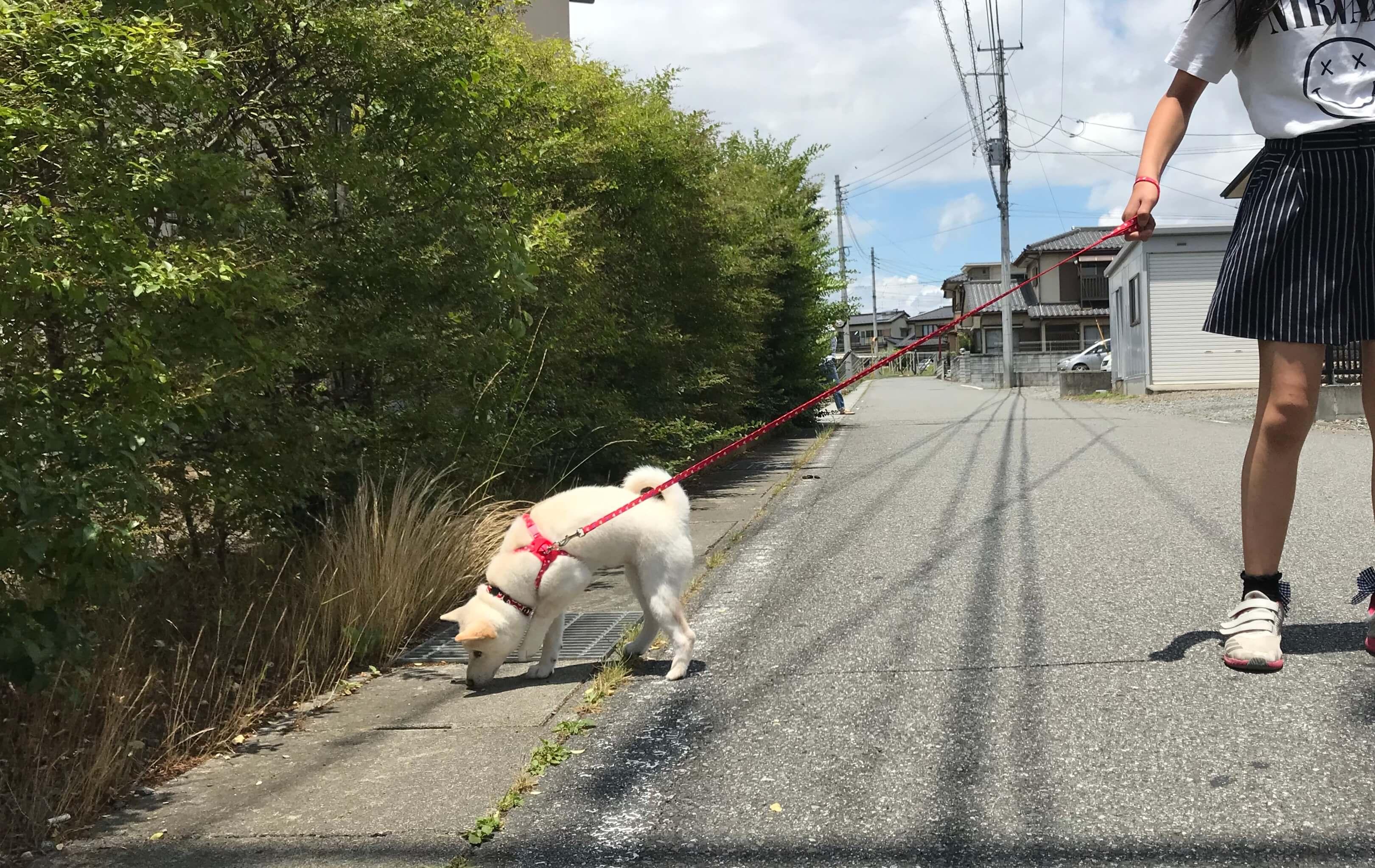 柴犬りこも 初めてのお散歩♪